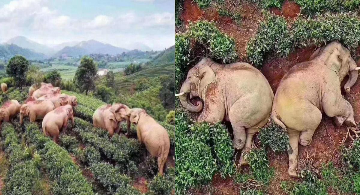 कोरोना के खौफ से घरों में बंद थे गांव वाले, 30 लीटर वाइन पीकर सो गये हाथी, जानें पूरा सच
