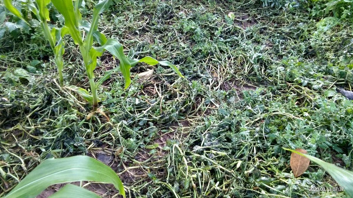 बिहार में तेज आंधी से तार और पोल टूटे, कटिहार में 20 घंटों तक बाधित रही बिजली, बर्बाद हुई फसल