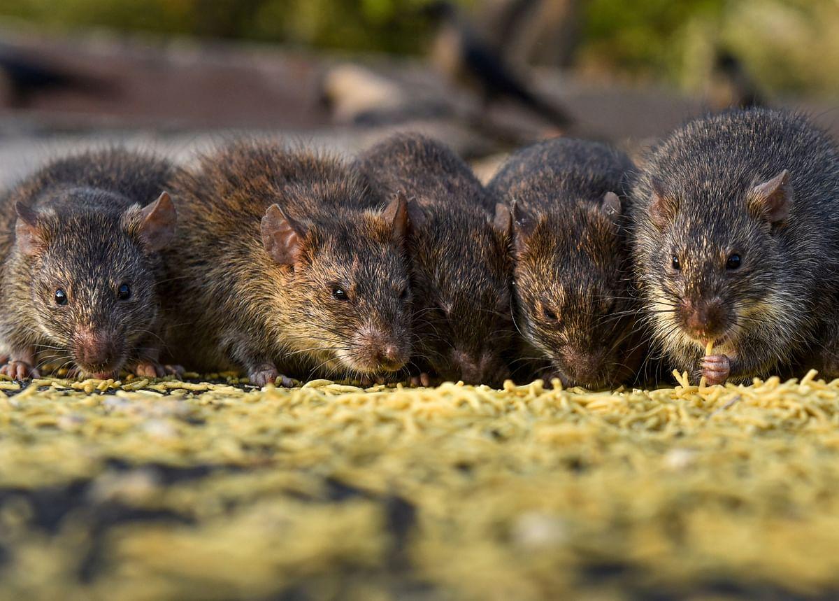 इस तसवीर को देखकर ऐसा लग रहा है मानों सभी चूहों ने अपना खाने का एरिया बांट लिया हो. वे एक दूसरे से कह रहे हों कि तुम उस तरफ की खाओ मैं इधर की खाता हूं.