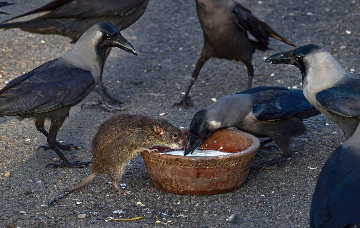 लॉकडाउन में चूहे की कौवे से दोस्ती हो गयी है. तसवीर में देखें कैसे दोनों एक साथ खाना खा रहे हैं.