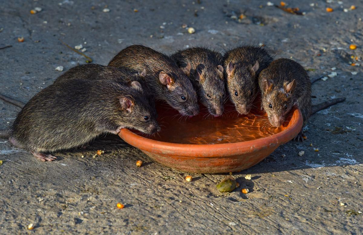 इस तसवीर को देखकर ऐसा लग रहा है मानों सभी चूहों को बहुत दिनों से प्यास लगी थी और पानी मिलने पर वे टूट पड़े हैं.