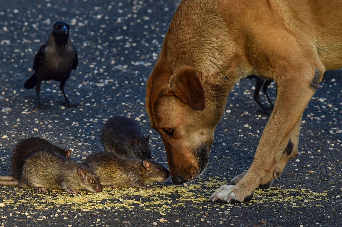 इस तसवीर को गौर से देखें. ऐसा लगा रहा है जैसे चूहे कह रहे हों कि आओ दोस्त मिलकर एक साथ खाना खाते हैं और फिर अपने-अपने घर जाते हैं.