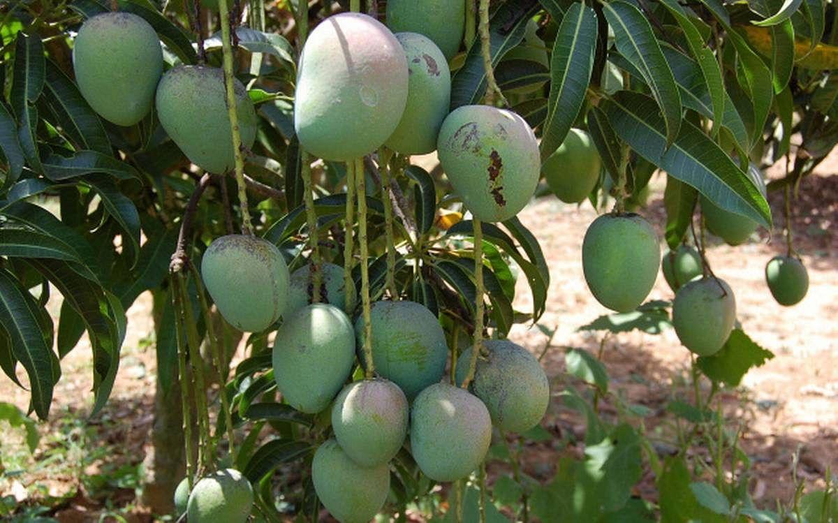 मौसम की मार से आम उत्पादकों को लगा बड़ा झटका, उजड़ गयी आम की खेती
