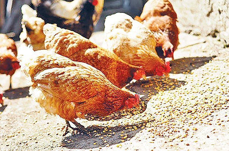 अब 170 से 180 रु किलो बिकने लगा मुर्गा