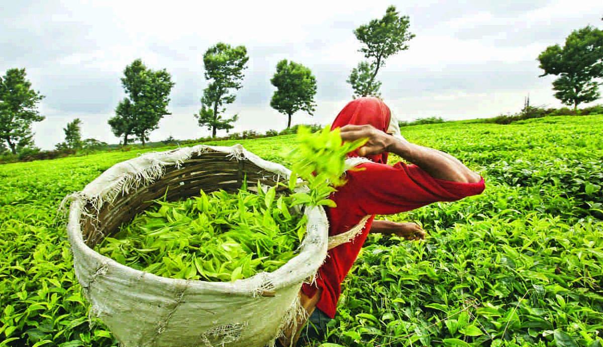 असम और पश्चिम बंगाल के चाय उद्योग को मार्च से मई तक 2,100 करोड़ रुपये का नुकसान के आसार