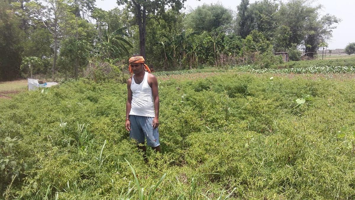 लॉकडाउन के कारण बेहाल हो रहे गोला के किसान, 8 रुपये किलो बिक रहा है मिर्च