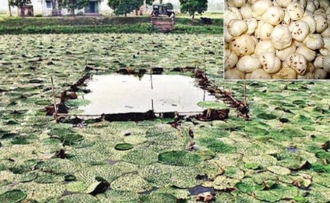 बिहार में बड़े पैमाने पर हो रही मखाना की खेती, जानें किस जिले में किसानों को मिल रहा मुनाफा