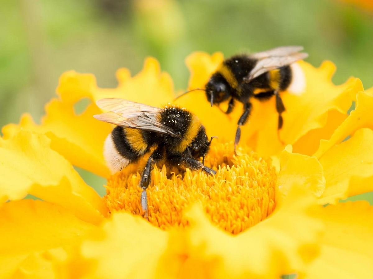 बरकरार रहे मधुमक्खियों की गूंज
