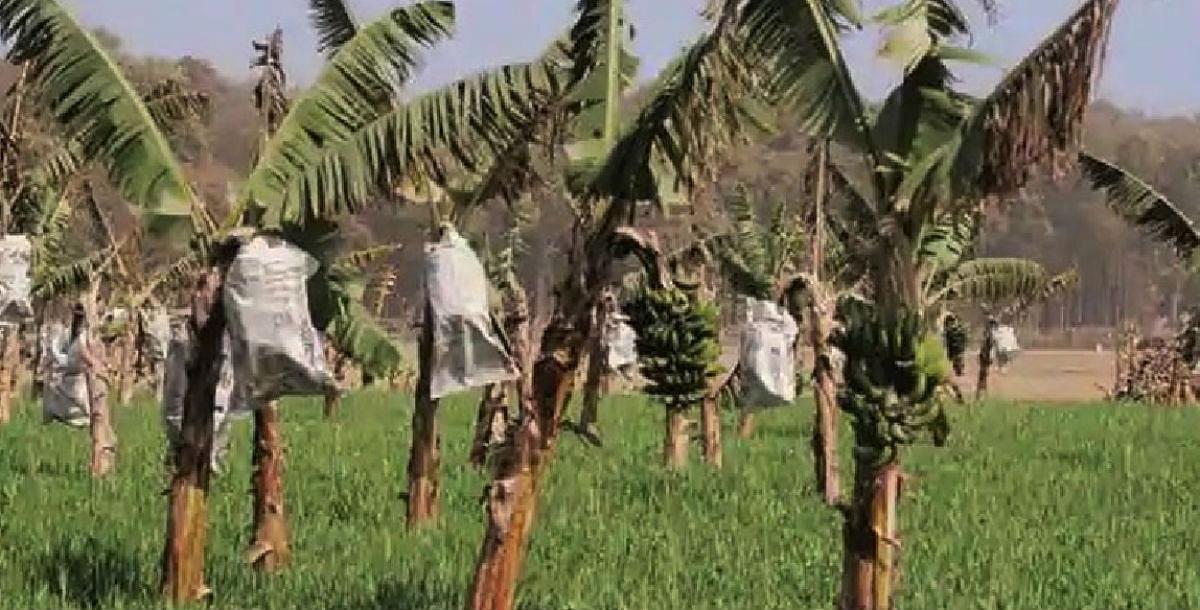 Corona के बाद भारत में अब Banana Covid का खतरा, हो सकती है भारी क्षति