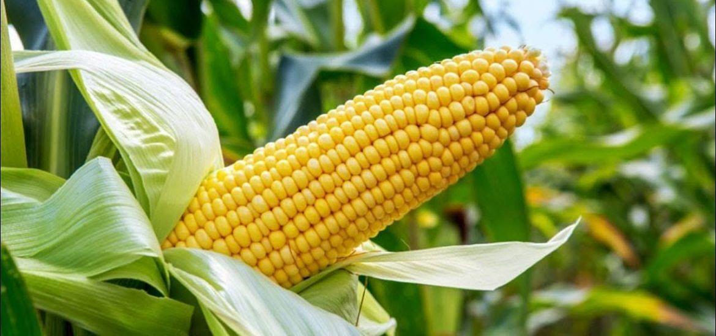 लॉकडाउन : बिचौलियों ने बढ़ायी मक्का किसानों की मुसीबत, एक हजार से नीचे गिरा मक्का का भाव