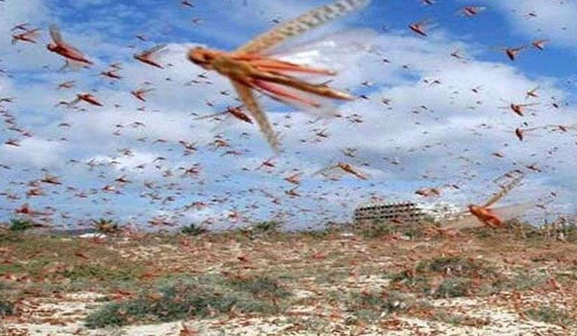1993 में भी हुआ था टिड्डियों का भयंकर हमला, जानें क्या किये गये थे बचाव के उपाय