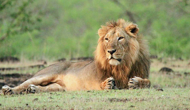 गुजरात के गिर जंगल में बढ़े एशियाई शेर, 29 फीसदी वृद्धि हुई के साथ 674 हुई संख्या