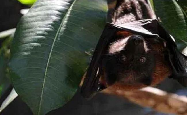 यूपी में चमगादड़ों की मौत कोरोना से नहीं, जांच रिपोर्ट में सामने आया ये सच