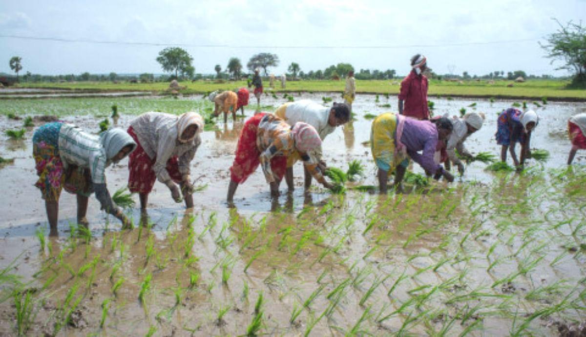 चावल की उत्पादकता बढ़ी, धान उत्पादन में आत्मनिर्भर हुआ बिहार, अब सरकार बना रही ये योजना