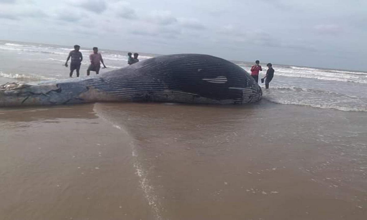 Video : मंदारमनी में समुद्र किनारे मृत मिली 15 टन की व्हेल