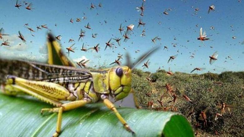 Locust Attack in Delhi : राष्ट्रीय राजधानी में दस किलोमीटर लंबे टिड्डी दल का हमला, ATS ने पायलट को किया अलर्ट, देखें वीडियो