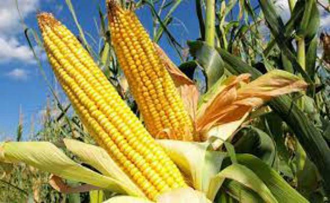 बिहार के मक्के की गुणवत्ता अमेरिका से भी बेहतर, लेकिन किसानों के लिए नहीं बन पा रहा लाभकारी, जानें कारण और सरकार की तैयारी