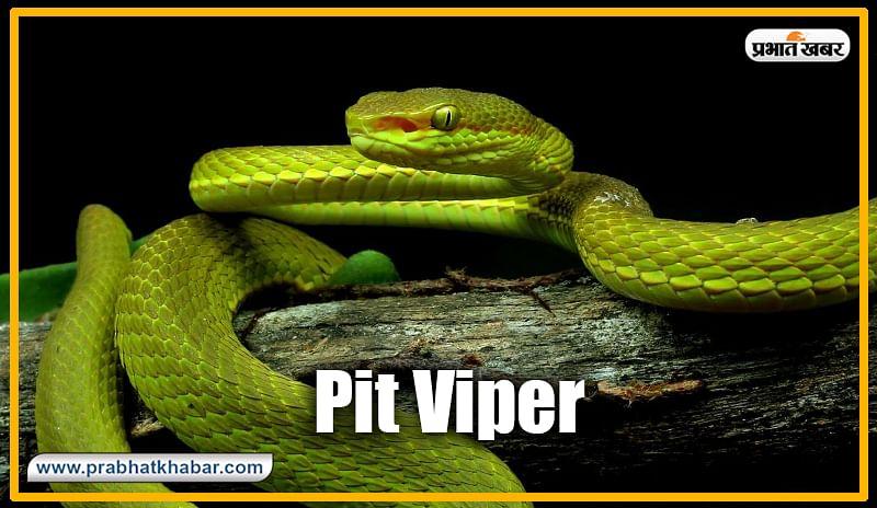 पिट वाईपर (Pit Viper) : ग्रीन पीट वाईपर भी झारखंड में पाए जाने वाले जहरीले सांपों में शुमार है. हालांकि, इससे काटने से मौत के मामले बहुत कम आते हैं. या तो यह केले के पौधे या झाड़ीनुमा पौधे में पाए जाते हैं.