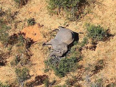 जंगल में जिधर देखो हाथियों की लाशें ही लाशें, दो माह में 350 से ज्यादा ने गंवायी जान, रहस्य बरकरार