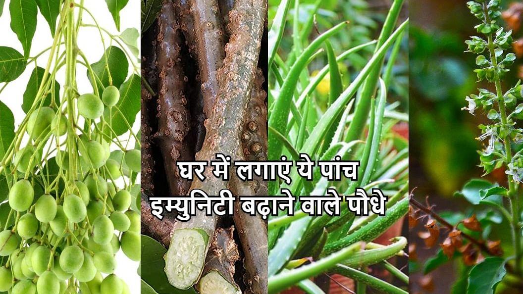 घर में लगाएं एलोवेरा, तुलसी, गिलोय समेत ये 5 Immunity बढ़ाने वाले पौधे, जानें सेवन करने का सही तरीका