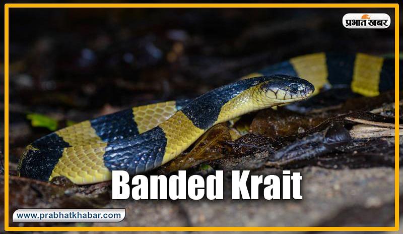 बैंडेड करैत (Banded Krait) : करैत प्रजाति का ही है कॉमन और बैंडेड करैत. आमतौर पर यह काले-पीले रंग में पाया जाता है. जिसका अभी तक देश में कोई एंटी वायरल दवा भी नहीं बन पाया है. इसके काटने से मौत तय है.