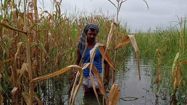 गंडक नदी के बाढ़ ने गन्ना किसानों को किया बर्बाद, सुखकर गिरने लगी फसल