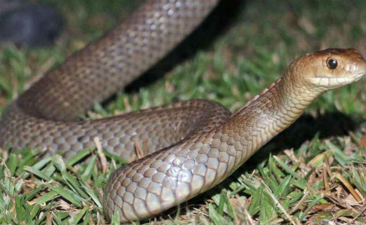 गुमला जिले में एक दर्जन से अधिक प्रजातियों के सांप, लेकिन 5 सबसे जहरीले