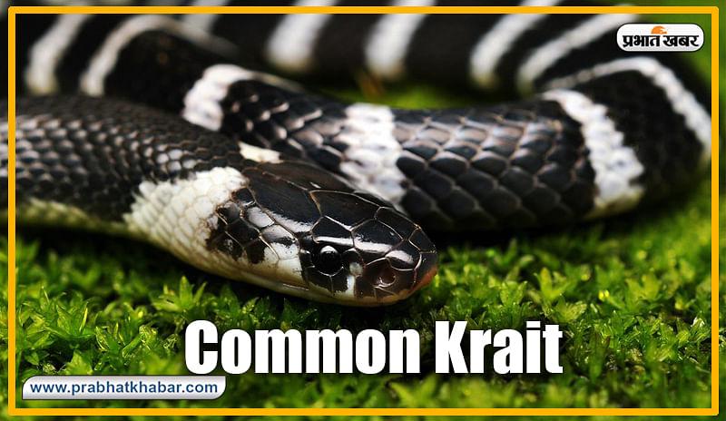 कॉमन करैत (Common Krait) : कॉमन करैत भारत का सबसे खतरनाक विषैला सांप है. इसकी औसतन लंबाई 4.5 फीट होती है लेकिन, झारखंड में यह करीब 5 फीट 11 इंच तक पाया गया है.