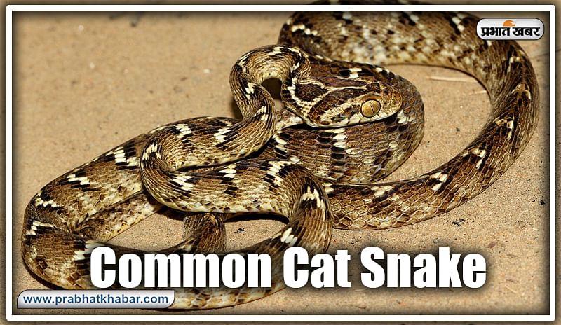 कॉमन कैट स्नेक (Common Cat Snake) : कॉमन कैट स्नेक हल्की विषैली सांप होती है. इसकी लंबाई साढ़े तीन से चार फीट तक हो सकता है. यह आमतौर पर ह्यूमन कॉलोनी के आसपास भी पाया जाता है.