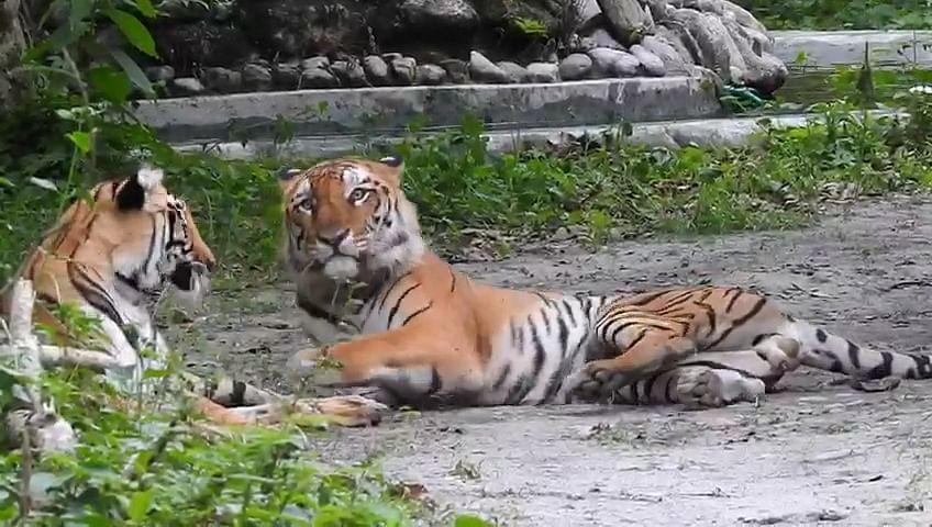 बंगाल सफारी पार्क में जल्द आयेगा नया मेहमान, गर्भवती है बाघिन शीला