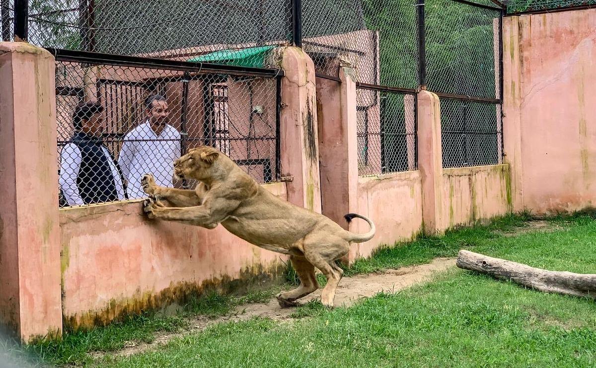तेज प्रताप यादव को अखिलेश यादव ने कराई शेरों से मुलाकात.