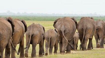 बड़कागांव में छठे दिन भी जारी रहा हाथियों का उत्पात, 20 एकड़ में लगी धान की फसल रौंदी