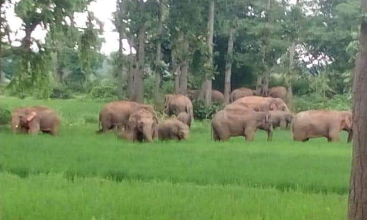 बड़कागांव में हाथियों के झुंड ने लाखों की फसलों को पहुंचाया नुकसान