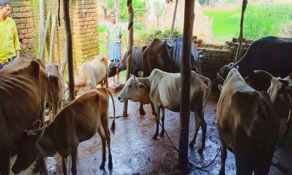 हरली गांव के गौशाला में 10 दिन से फंसे हैं एक दर्जन जानवर, निकलने का नहीं मिल रहा रास्ता