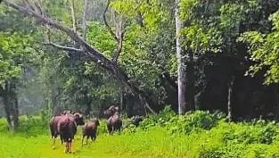 बाघ के हमले में गाय की मौत, जंगल के बाहरी क्षेत्र में गौरों के आने से ग्रामीणों में दहशत