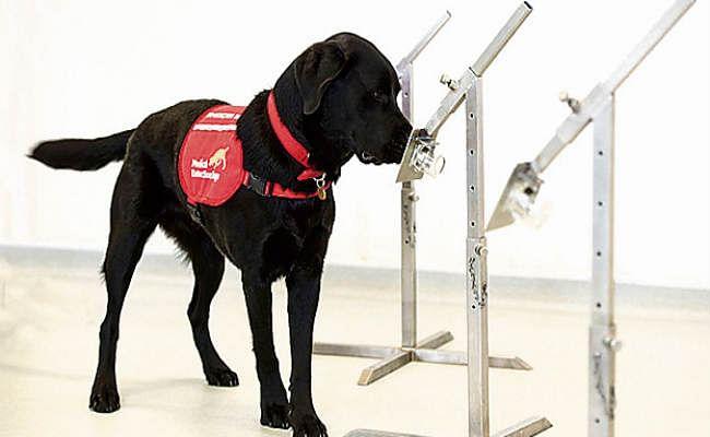 कुत्तों को दी गई ऐसी ट्रेनिंग, इंसानों को सूंघकर बता देंगे कौन है कोरोना संक्रमित
