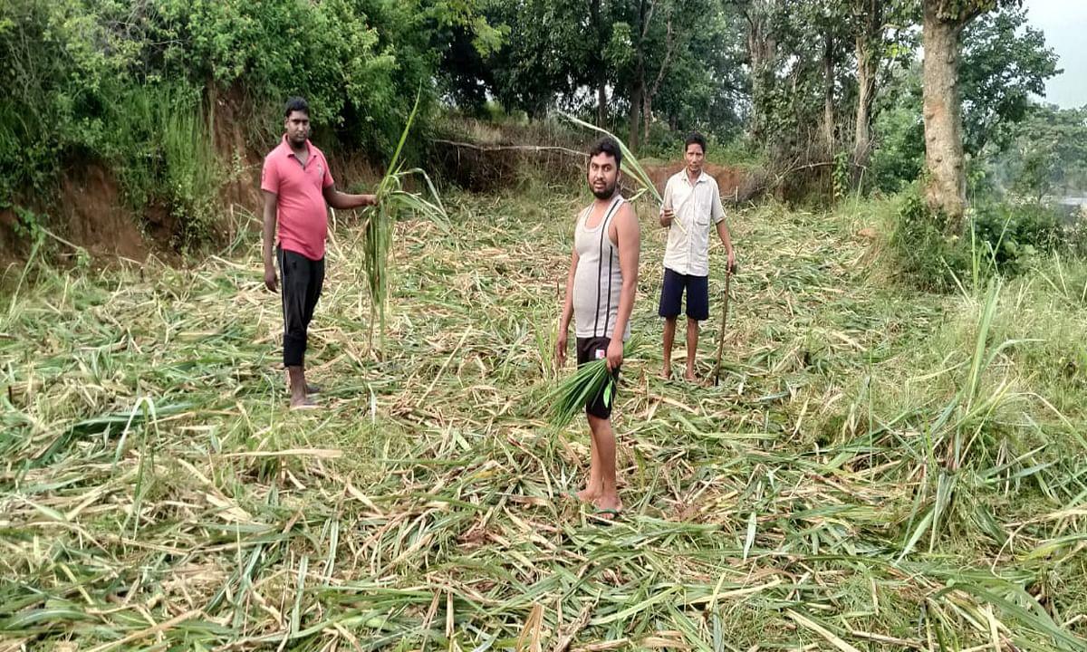 हाथियों का झुंड बड़कागांव के जुगरा गांव पहुंचा, 4 घरों को किया क्षतिग्रस्त, फसलों को भी पहुंचाया नुकसान