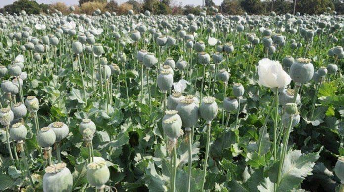 अफीम की खेती करने की तैयारी में तस्कर