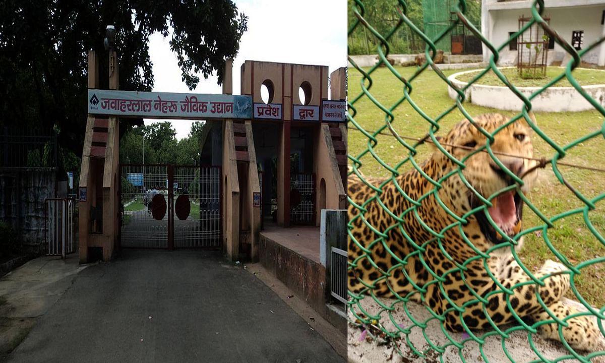 12 साल के तेंदुआ 'अक्षय' की हुई मौत, अब बोकारो में नहीं सुनाई देगी इसकी गुर्राहट