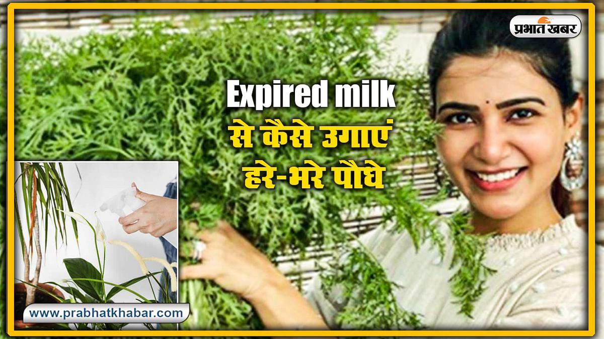 Expired milk से कैसे उगाएं हरे-भरे पौधे? जानें इस्तेमाल करने का सही तरीका