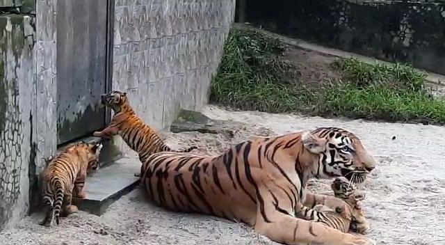 बंगाल सफारी पार्क खुलने के बाद भी रॉयल बंगाल शावकों का दीदार नहीं कर सकेंगे पर्यटक