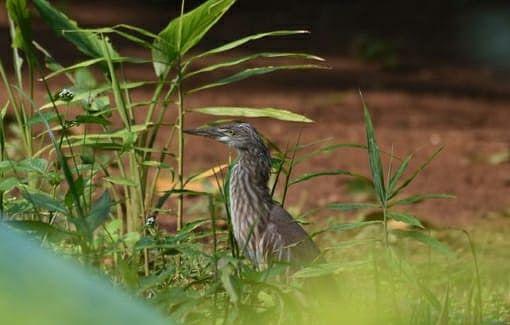 झारखंड : गुमला के ड्राई जंगल हैं इन दुर्लभ पक्षियों का आशियाना