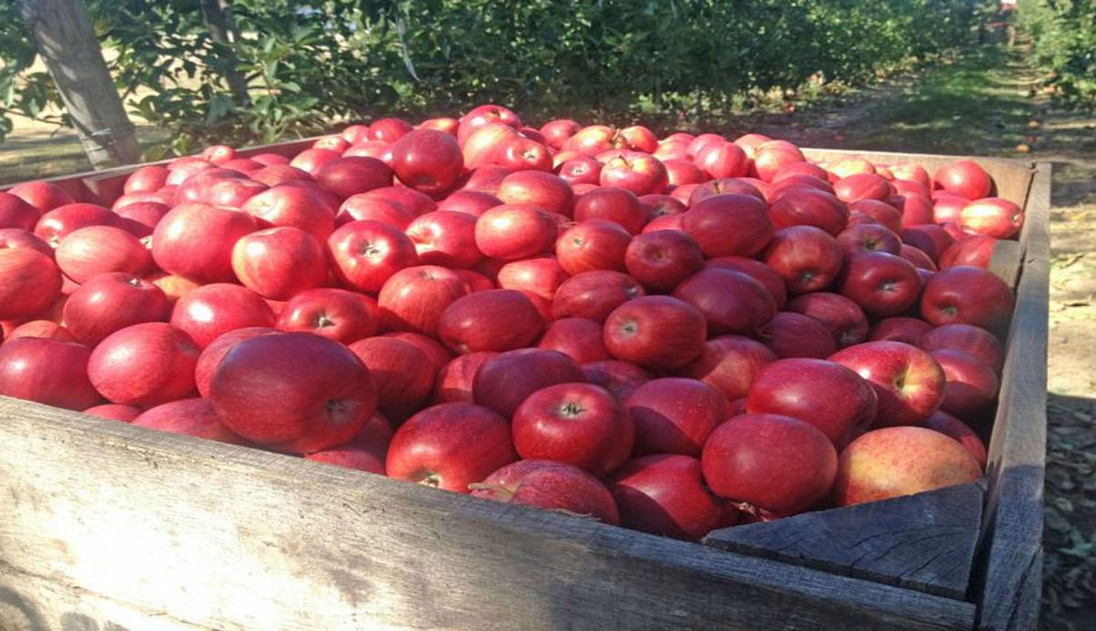 जम्मू-कश्मीर के किसानों से 12 लाख टन सेब की खरीद करेगा नेफेड, केंद्रीय कैबिनेट दी मंजूरी