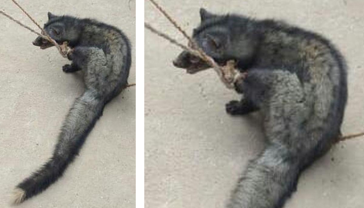 झारखंड के गांव में पहुंचा कब्र खोदकर मुर्दे का मांस खाने वाला जंगली जानवर 'बिज्जू', देखिए EXCLUSIVE Pics
