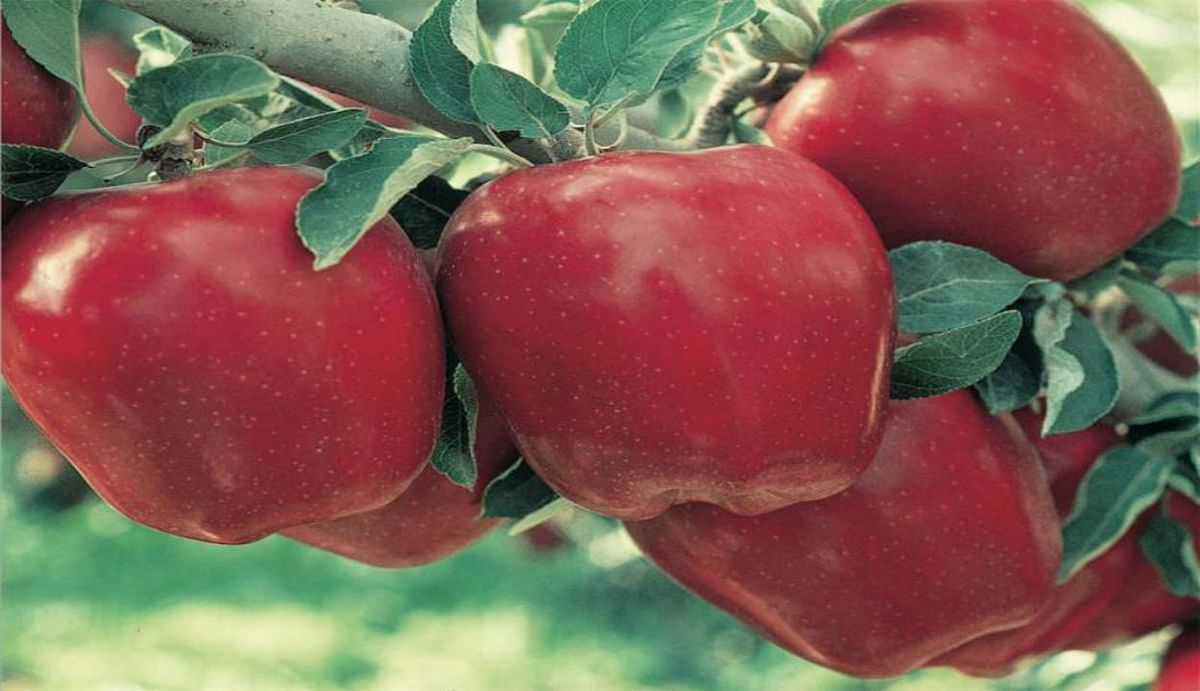 Bihar News: अब सेब के बागान और बाजार होने लगे वीरान, घर लौटने लगे भैयाजी