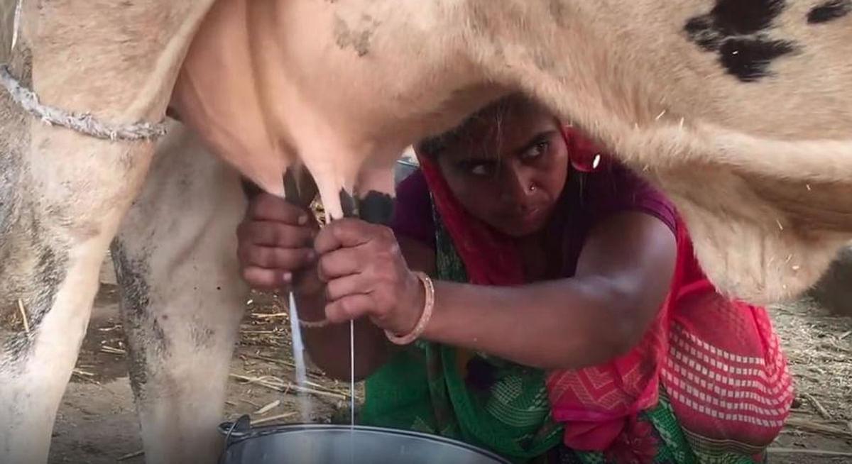 Corruption in Scheme: झारखंड में 90 फीसदी अनुदान पर गाय वितरण योजना में भ्रष्टाचार का खुलासा, सरकार ने योजना पर लगायी रोक