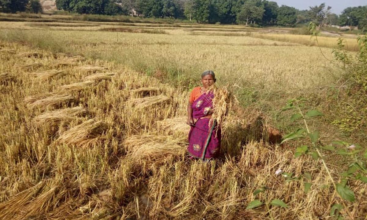 Jharkhand news : शहीद फेदलिस एक्का की पत्नी इमिलिया एक्का खेतों में काम करने को मजबूर. परिवार के अन्य लोग भी खेती-बारी कर चला रहे हैं आजीविका.