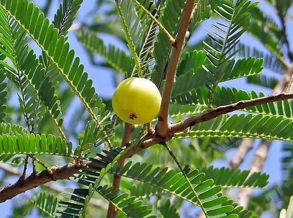 बिहार के कैमूर इलाके में सरकार लगायेगी सहजन और आंवला के पौधे, जानें क्या है वजह
