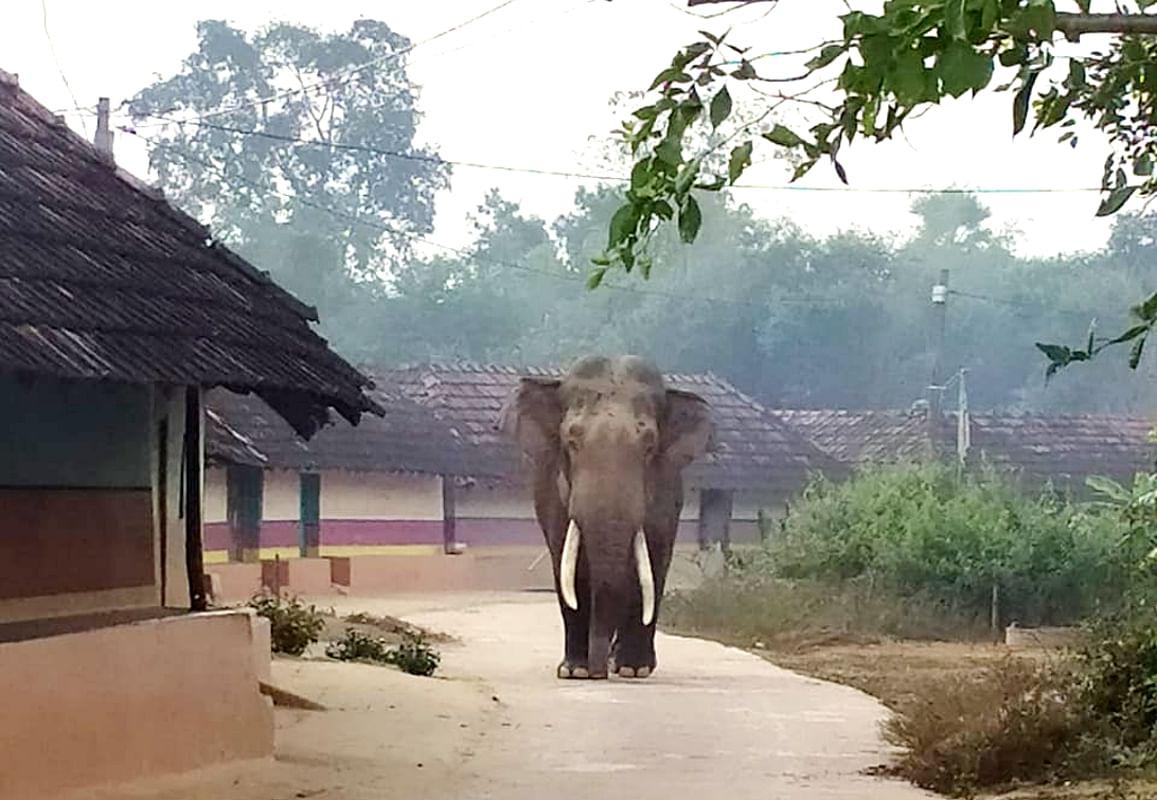 धालभूमगढ़ प्रखंड से हाथियों की चहलकदमी घाटशिला के पुनगोड़ा जंगल में बढ़ गयी है.
