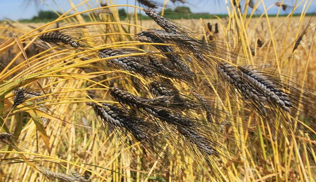 Black Wheat Sowing Time : 'काला गेहूं' किसानों और डायबिटीज रोगियों के लिए है रामबाण, घर में बरसेगा 'सोना', जानिए कैसे...?